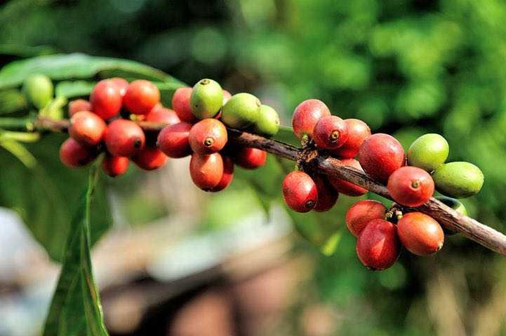 organik kahve görseli
